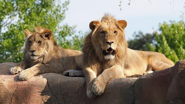 व्हाय कोपा लायन और टाइगर रिजर्व जोग फॉल के पास- Thyvare Koppa Lion & Tiger Reserve In Hindi