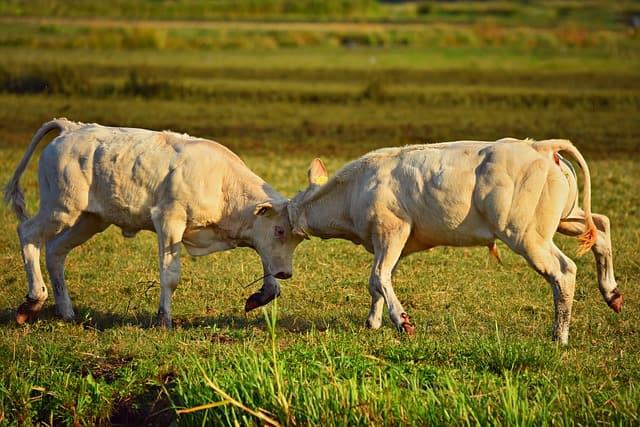 बुल फाइट्स - Bull Fight