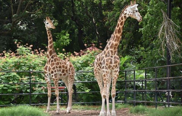 मैसूर में देखने लायक जगह चिड़ियाघर - Mysore Me Dekhne Layak Mysore Zoo In Hindi