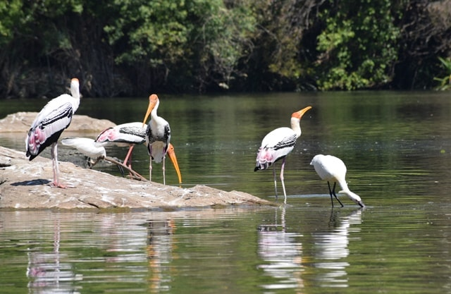 मैसूर में घूमने लायक जगह रंगनाथिट्टू पक्षी अभयारण्य कर्नाटक - Mysore Me Ghumne Layak Jagah Ranganathittu Bird Sanctuary Karnataka In Hindi
