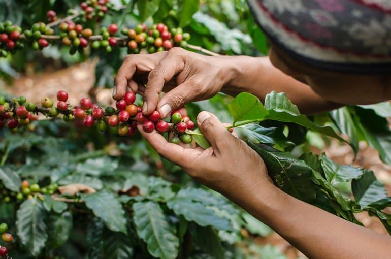 चिकमंगलूर में देखने वाली जगह कॉफी बागान