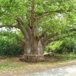 बांसवाड़ा के मशहूर कल्पवृक्ष के बारे में जानकारी – Kalpavirksha In Hindi