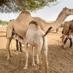 राष्ट्रीय ऊंट अनुसंधान केन्द्र घूमने की जानकारी - National Camel Research Center In Hindi